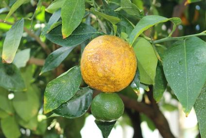 オレンジビター